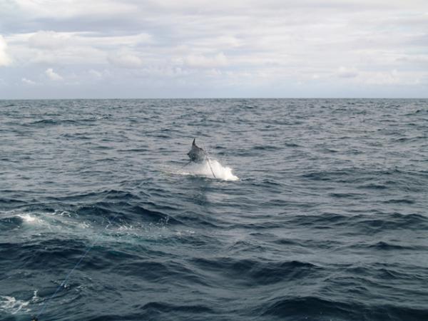 Puerto vallarta sportfishing highlights september pv for Deep sea fishing puerto vallarta