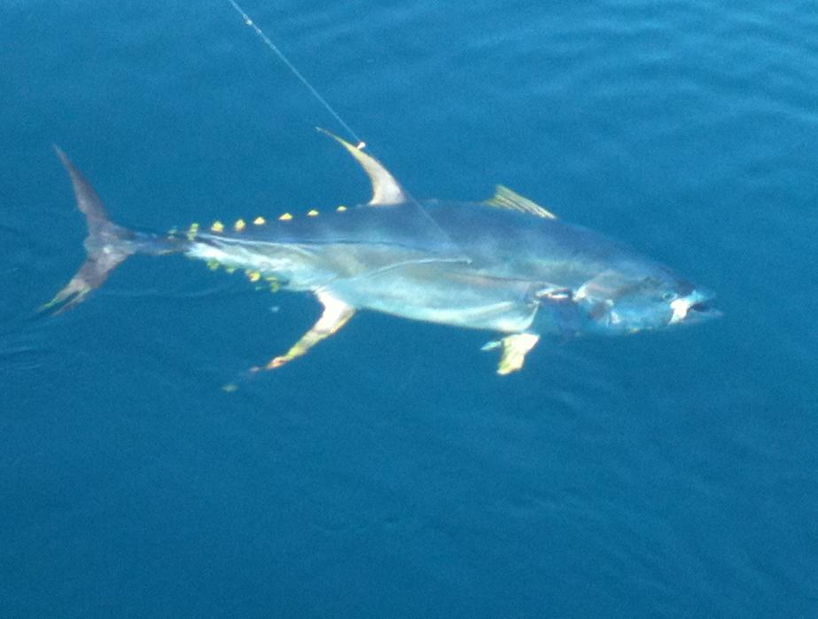 Puerto vallarta tuna fishing with pv sportfishing charters for Deep sea fishing puerto vallarta